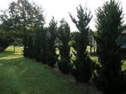 Ялівець китайський Robusta Green 3 річний, Можжевельник китайский Робуста Грин, Juniperus chinensis Robusta, фото 2
