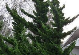 Ялівець китайський Robusta Green 3 річний, Можжевельник китайский Робуста Грин, Juniperus chinensis Robusta, фото 3