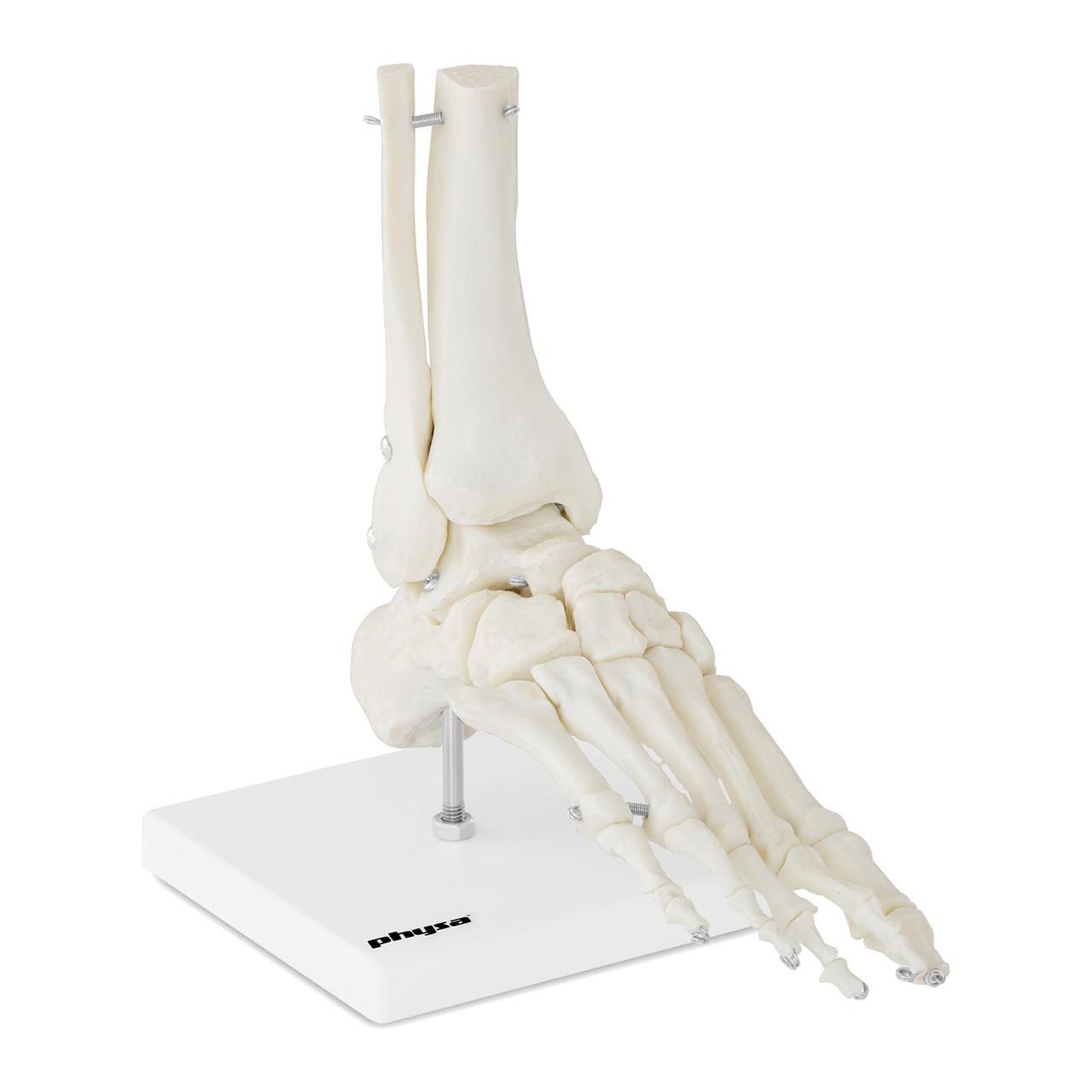 Голеностопный сустав - анатомическая модель Physa