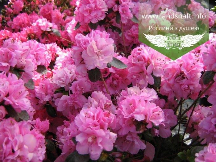 Azalea japonica 'Rosinetta', Азалія японська 'Росінетта',C2 - горщик 2л