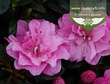 Azalea japonica 'Rosinetta', Азалія японська 'Росінетта',C2 - горщик 2л, фото 2