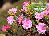 Azalea japonica 'Rosinetta', Азалія японська 'Росінетта',C2 - горщик 2л, фото 3