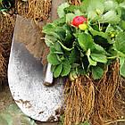 Саженцы клубники (рассада) Альба (Alba) - очень ранняя, крупноплодная, урожайная, фото 6