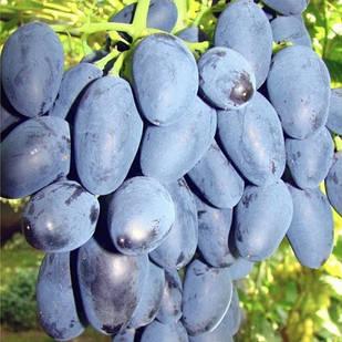 Вегетирующие саженцы винограда Рада - ранний, сочный, зимостойкий