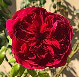 Роза Алан Сушон. (в). Чайно-гибридная роза, фото 4