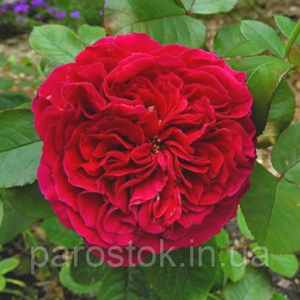 Роза Алан Сушон. (в). Чайно-гибридная роза