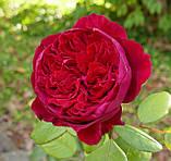 Роза Алан Сушон. (в). Чайно-гибридная роза, фото 2