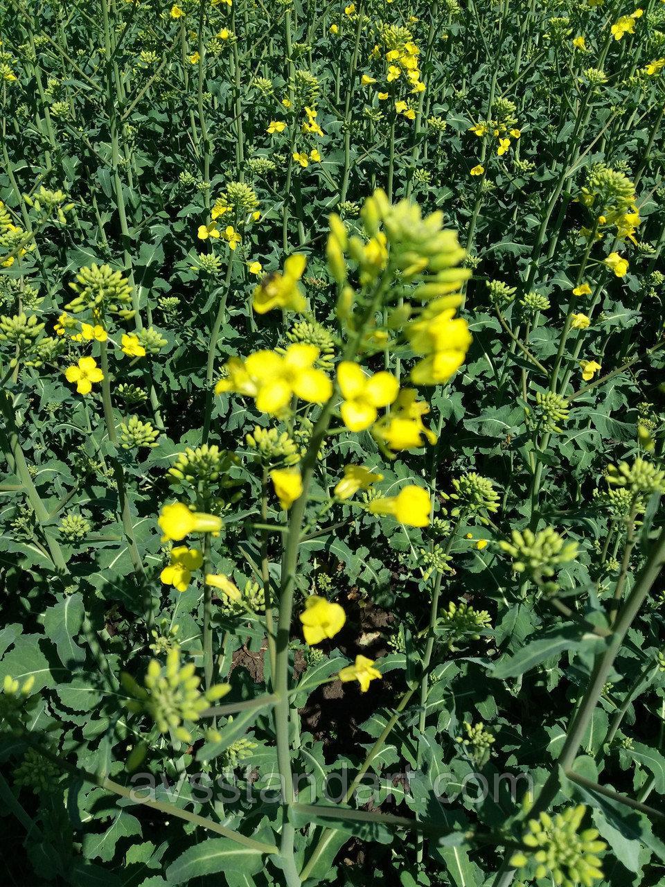 Насіння ярого ріпаку Сіріус 85-95 днів. Врожайний ріпак 40-45ц/га, стійкий до посухи та хвороб Сіріус. Врожай 2020 року.