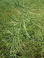 Врожайний гібрид ярого ріпака Мажор РС 33-37ц/га. Ярий ріпак стійкий до хвороб та гліфосату 4л/га. 80-90 днів. Посухостійкість 9 балів.