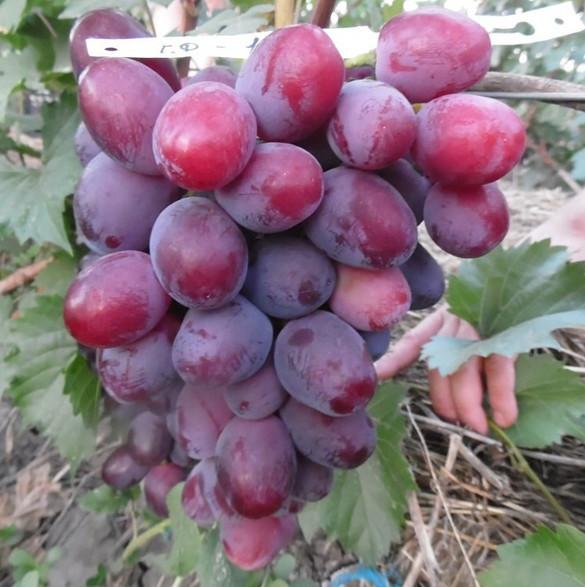 Вегетирующие саженцы винограда Эверест - раннего срока, крупноплодный, морозостойкий
