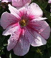 Петуния Вертуоз Распдери 250 с.Petunia F1 (Petunia grandiflora), фото 1