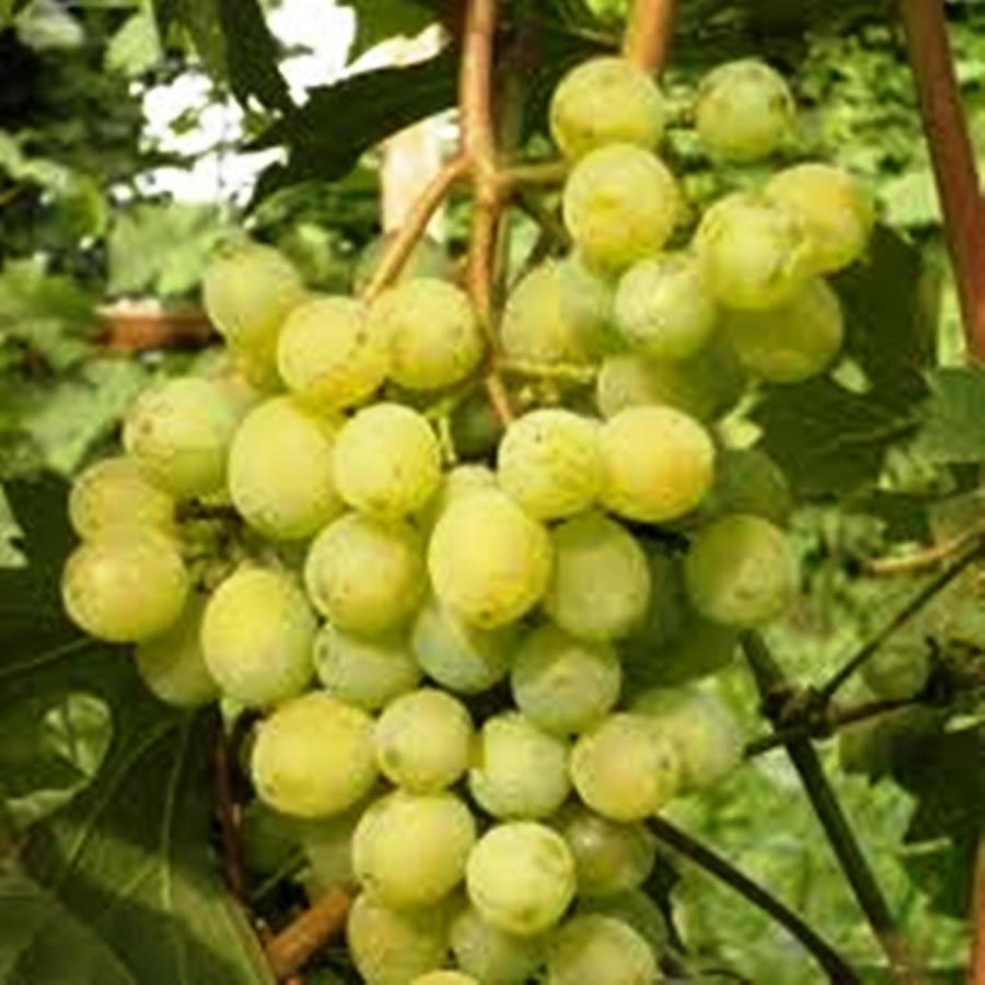 Вегетирующие саженцы винограда Синдикат - раннего срока, морозостойкий, крупноплодный
