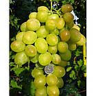 Вегетирующие саженцы винограда Синдикат - раннего срока, морозостойкий, крупноплодный, фото 2