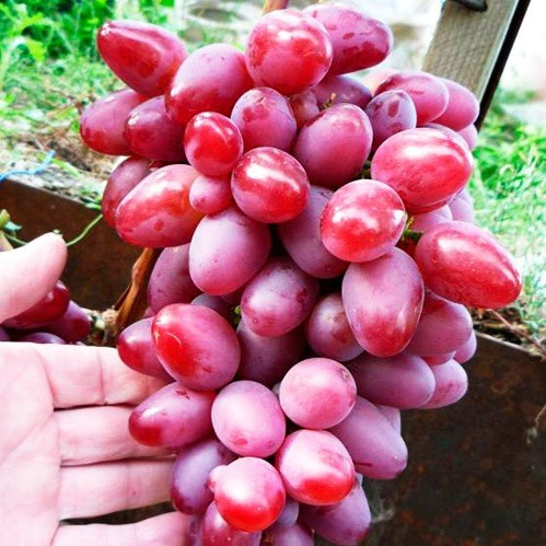 Вегетирующие саженцы винограда Парижанка - раннего срока, транспортабельный, морозостойкий