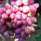 Вегетирующие саженцы винограда Парижанка - раннего срока, транспортабельный, морозостойкий, фото 2