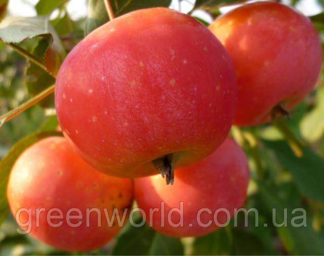 Саджанці Райської яблуні Вірджинія (2 роки)
