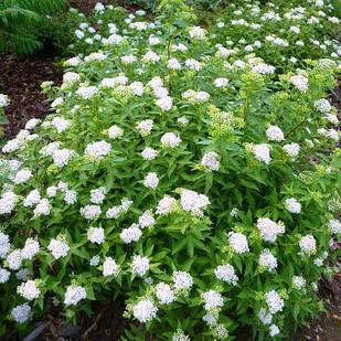 Саженцы Спиреи японской Альбифлора (Spiraea japonica Albiflora)
