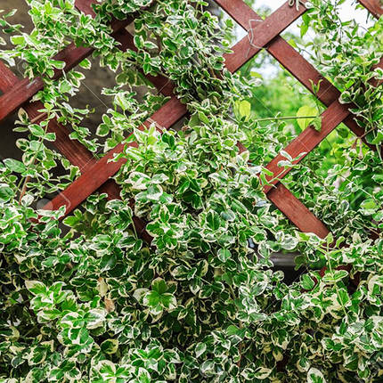 Бересклет Форчуна 'Сільвер Квін', (Р9), фото 2