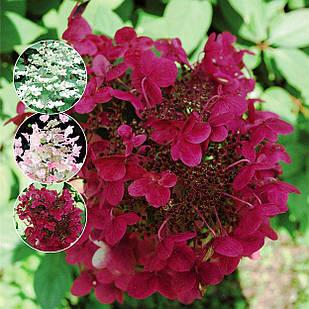 Саженцы Гортензии метельчатой Вимс Ред (Hydrangea paniculata Wim's Red)