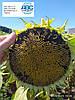 Насіння соняшника Фалькон A-G + Нертус Агро. Гібрид Фалькон урожайний 50ц/га олія 50% вовчок рас A-G + Екстра