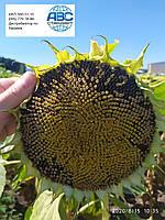 Насіння соняшника Фалькон A-G + Нертус Агро. Ранньостиглий, тривалість Фалькон урожайний 50ц/га олія 50% вовчка рас A-G + Екстра