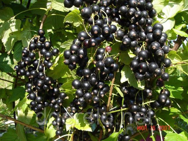 Черная смородина – все о ней