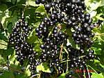 Черная смородина – все, что нужно знать о ней
