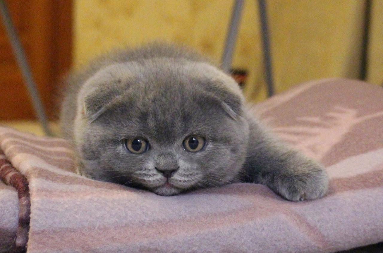 Кот шотландец вислоухий отзывы