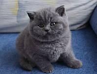 Шотландский прямоухие котята