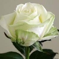 Роза Едванс (Advance), фото 1
