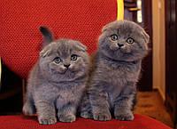 Элитные вислоухие котята