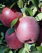 Яблоня Глостер(сладкий,среднерослый)