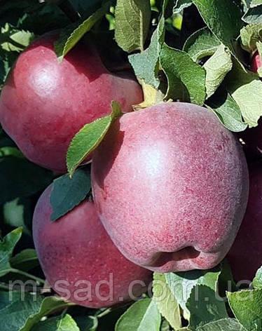 Яблуня Глостер(солодкий), фото 2