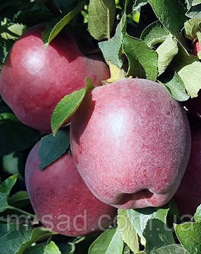 Яблуня Глостер(солодкий)