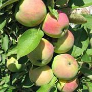 Яблоня Президент колоновидная (летний сорт,кисло сладкий)