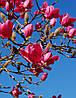 Магнолія Vulcan 3 річна 0.4-0.5м, Магнолия гибридная Вулкан, Magnolia Vulcan, фото 3