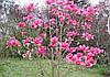 Магнолія Vulcan 3 річна 0.4-0.5м, Магнолия гибридная Вулкан, Magnolia Vulcan, фото 4