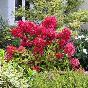 Саженцы Гортензии метельчатой Мега Минди (Hydrangea paniculata Mega Mindy)