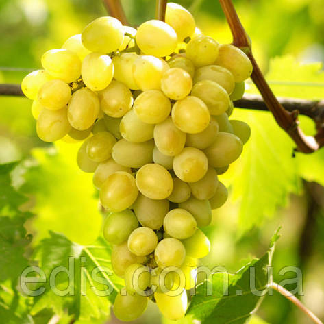 Виноград Августин, фото 2