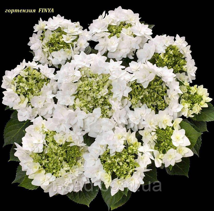 Гортензия крупнолистная Finya (Финя) 2год махрово-кружевная