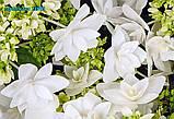 Гортензия крупнолистная Finya (Финя) 2год махрово-кружевная, фото 2