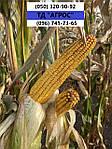 Гібрид кукурудзи Руні ФАО 320 для Степу вологовіддача 14%. Кукурудза Руні врожай 120ц/га, стійкий до посухи.