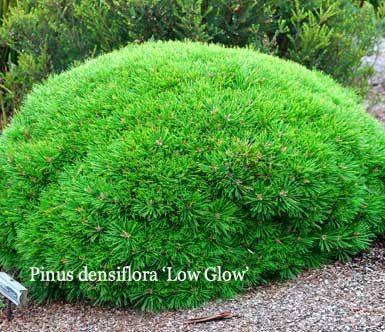 Сосна густоквіткова Low Glow 5 річна 30-40см, Сосна густоцветковая Лоу Глоу, Pinus densiflora Low Glow, фото 2