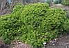 Сосна густоквіткова Low Glow 5 річна 30-40см, Сосна густоцветковая Лоу Глоу, Pinus densiflora Low Glow, фото 5