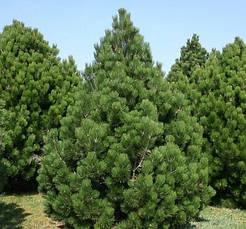 Сосна Гельдрейха Malinki 4 річна 20-30см, Сосна Гельдрейха / белокорая Малинки, Pinus leucodermis Malinki, фото 2