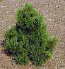 Сосна Гельдрейха Malinki 4 річна 20-30см, Сосна Гельдрейха / белокорая Малинки, Pinus leucodermis Malinki, фото 5