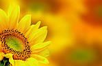 Вчені розповіли, як отримати високий врожай соняшнику в сезоні-2021