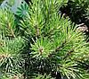 Сосна гірська Gnome 5 річна 30-40см, Сосна горная Миникин, Pinus mugo Gnome, фото 3