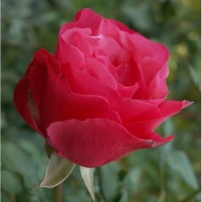 Троянди чайно-гібридна Амалія