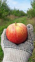 Яблоня Чемпион - осенний сорт. Сладкий